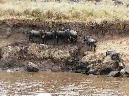 Massai Mara Gnuwanderung