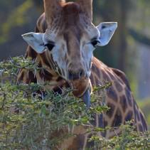 Kenia Safari 2014